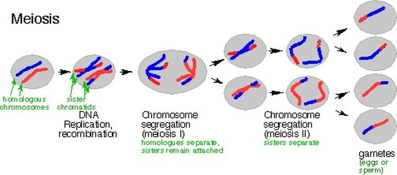 meiosis explanation
